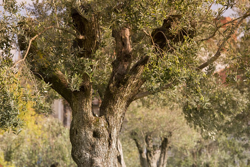 a park with olives trees in Ribeira in the city centre of Porto in Porugal in Europe. photo