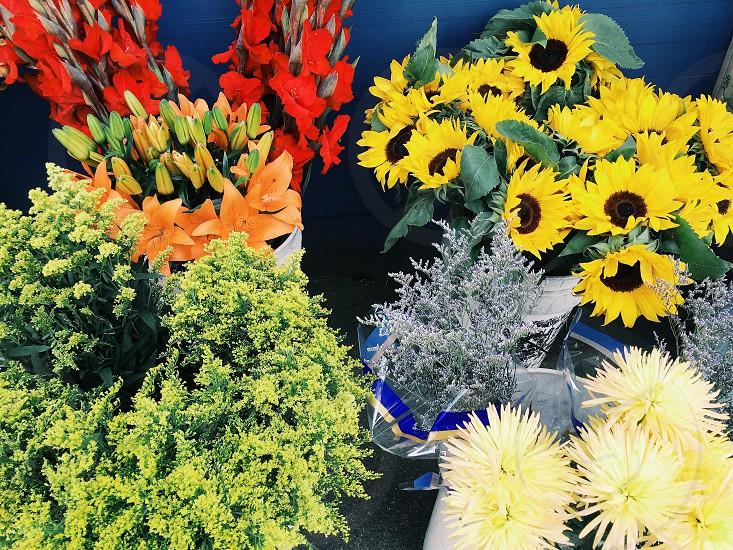 yellow sunflower yellow dandelion flower  photo
