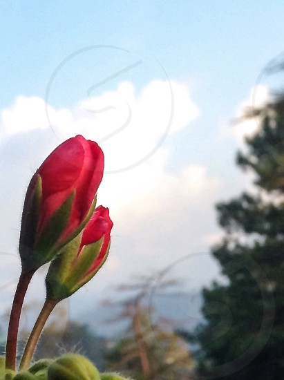 Flower flowers spring springtime flower buds flowerbud clouds mountain trees mountains light relax red green photo