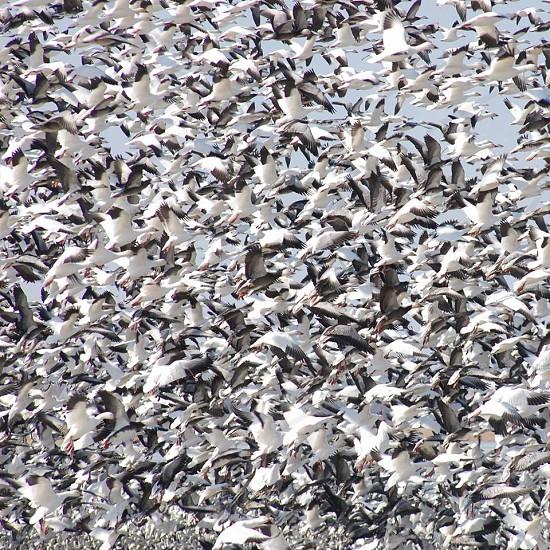 Mound city Missouri snow geese photo