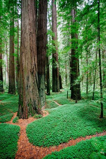 Green. Redwoods CA.  photo