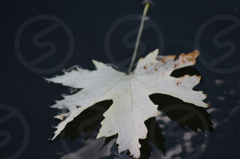green maple leaf on body of water photo