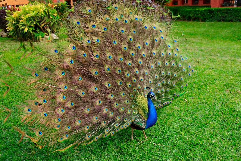 green and blue brown peacock on green grass field during daytime photo