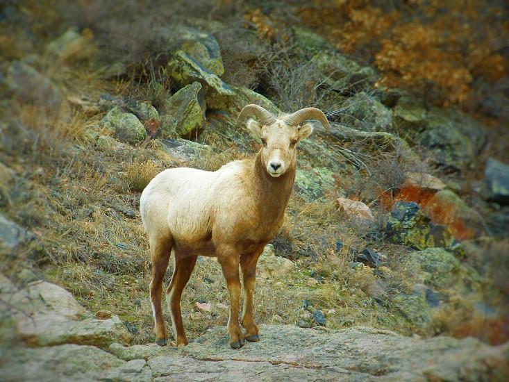 Wildlife Bighorn sheep Nature photo