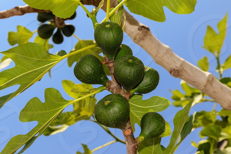 Fig tree photo