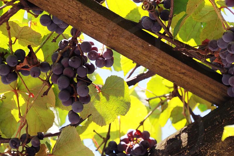 Grape vineyard wine photo