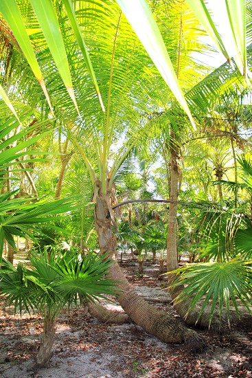 Coconut palm tree and chit jungle on caribbean beach area of Mayan Riviera photo