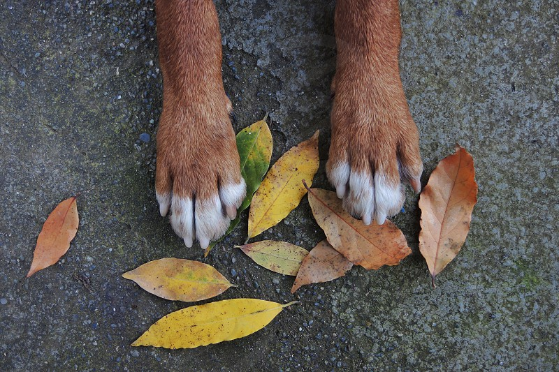 brown and white dog paws on brown yellow leaves during daytime photo