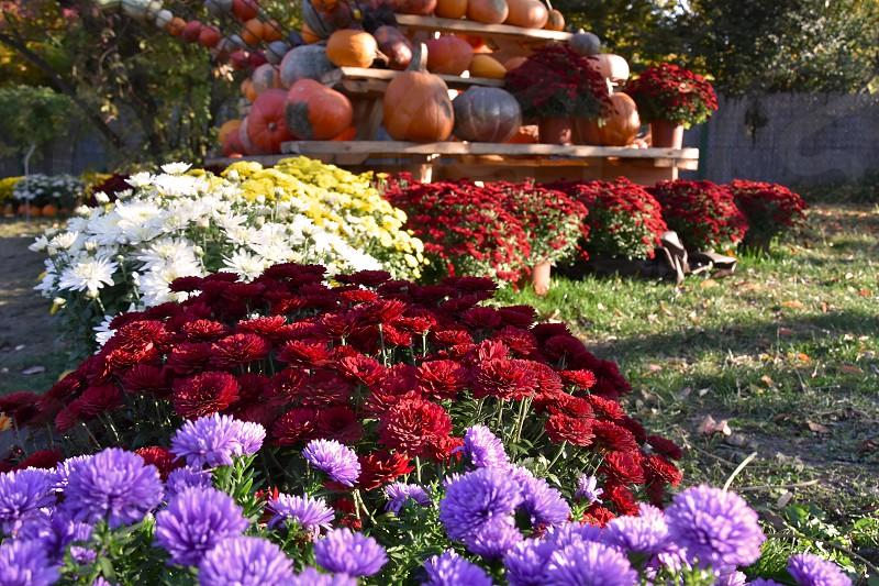 Colorful autumn flowers. Beautiful autumn decoration with pumpkins. Autumn garden decoration photo