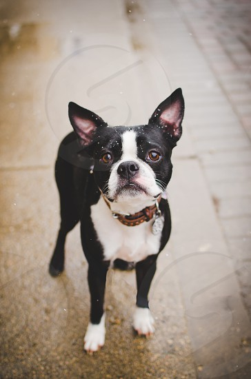 Boston Terrier standing on sidewalk looking straight into camera snow falling lightly. photo