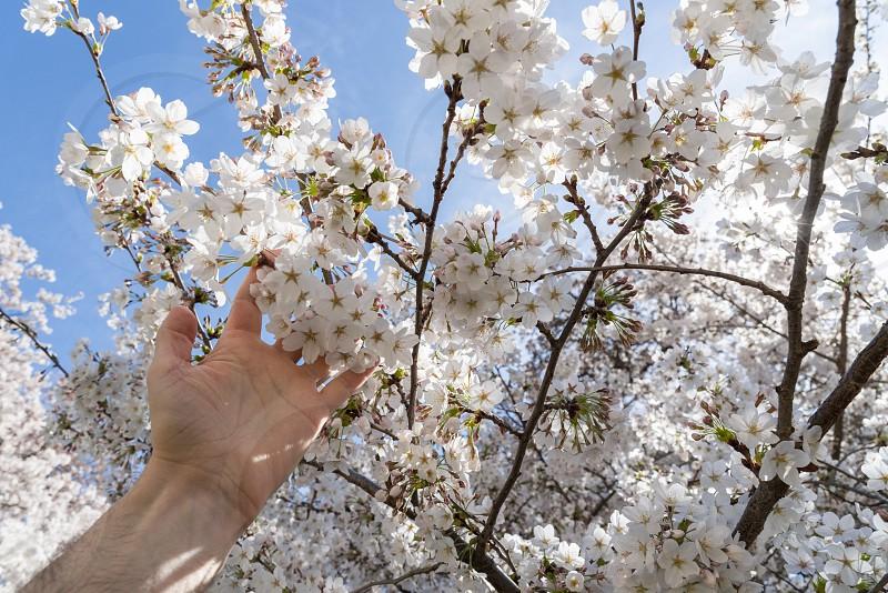 Cherry blossoms on the University of Washington campus. photo