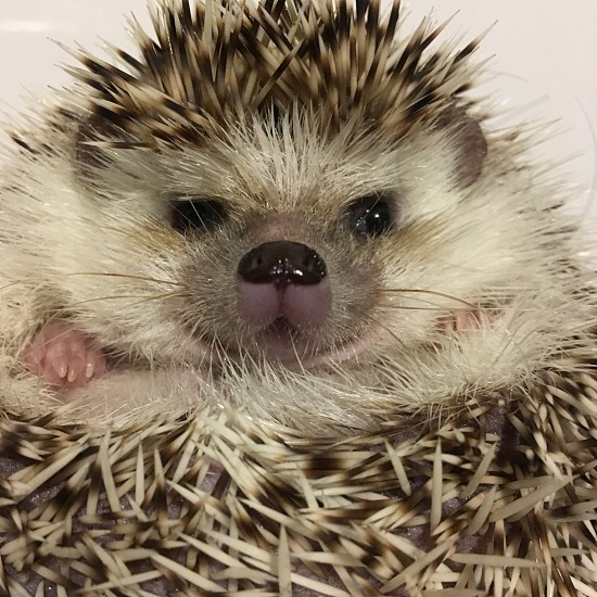 Hedgehog animal pet photo