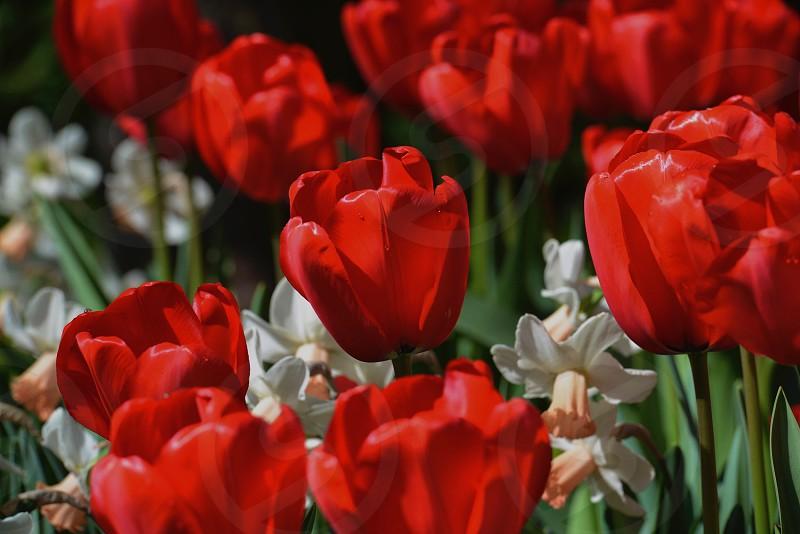 Red Tulip Flowers photo