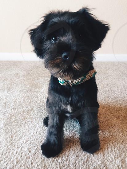 black maltese poodle mix photo