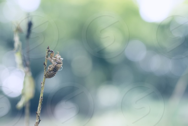 brown cicada exuviae perched on green stem in shallow focus lens photo