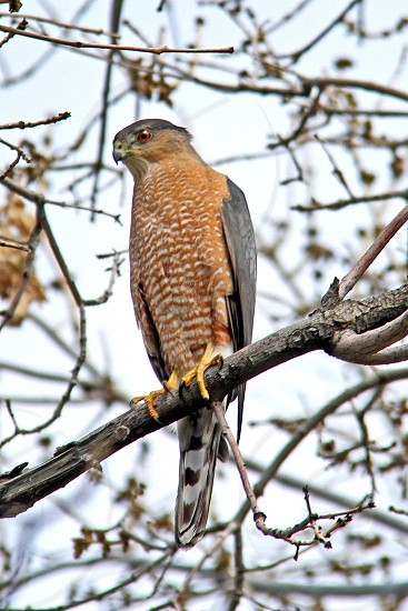 A Male Coopers Hawk in a tree. The settings were 1/250 f5.6 ISO400 200mm. photo