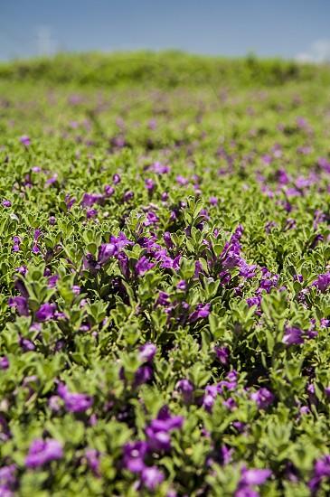 Field of purple flowers photo