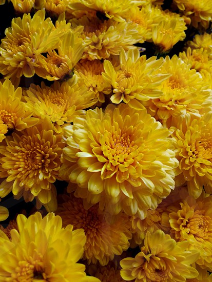 cluster of yellow petaled flowers photo