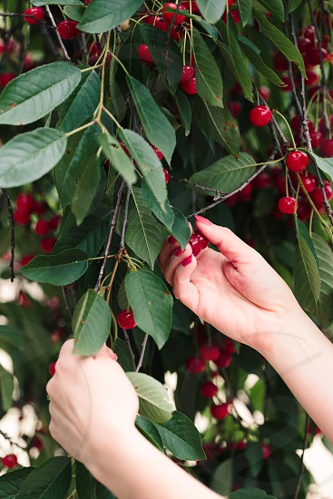 Woman picking cherry berries from tree photo