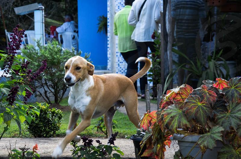 black and white american pitbull terrier photo