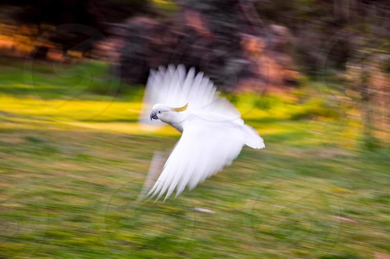 Flying cockatoo photo