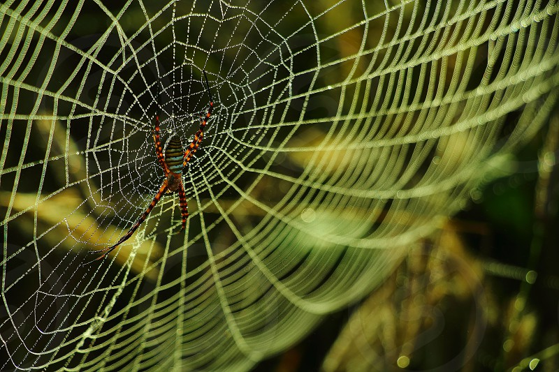 Hunting spider in his perfect and symmetrical webs photo