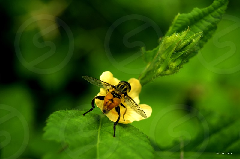 flyfliesgreen yellownaturemacromacrosinsectflowerleavesshadow photo