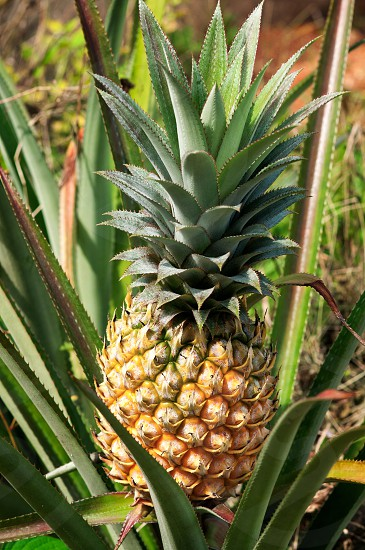 Pineapple plant in the plantation. photo