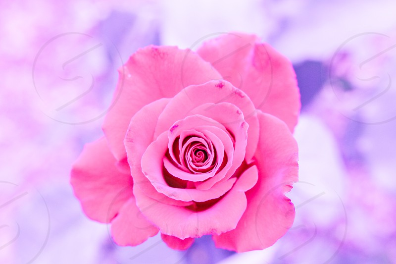 Pink rose flower photo