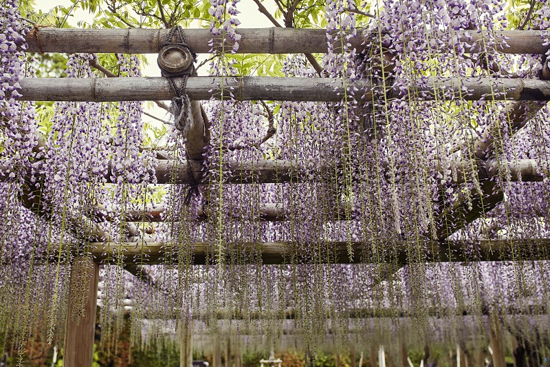 Wisteria flowers growing through a trellis in Kyoto Japan photo