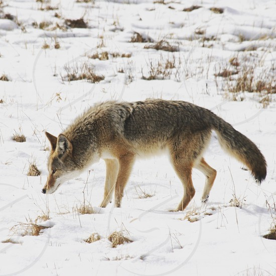 Coyote in Yellowstone National Park photo