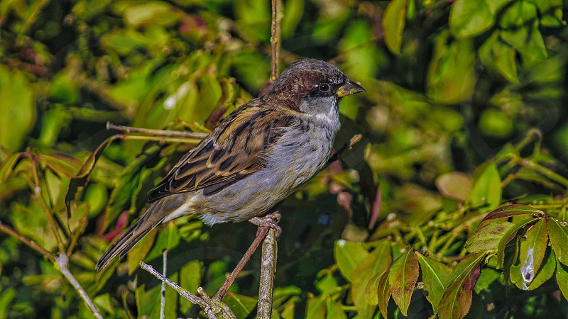 grey and brown colored bird perching on a branch surround by green acute shaped leaves photo