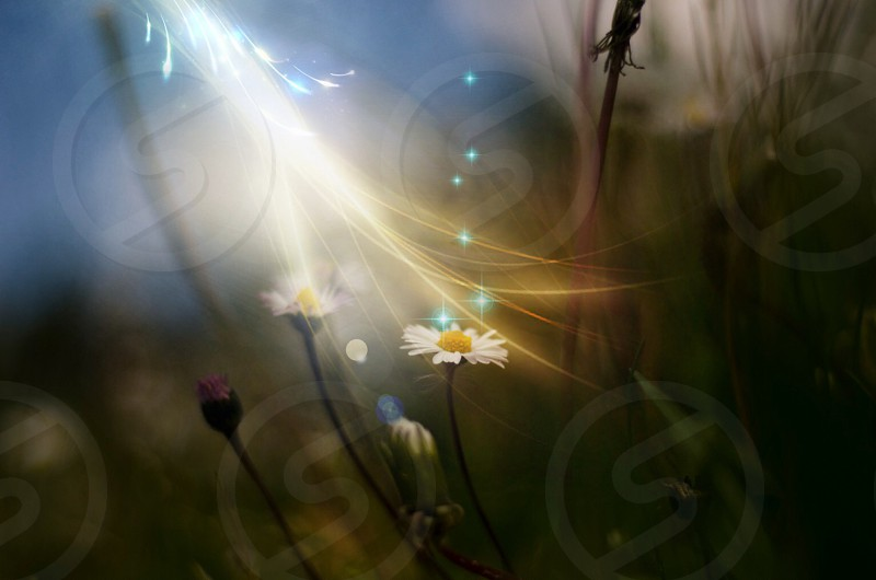 white daisy flower photography  photo