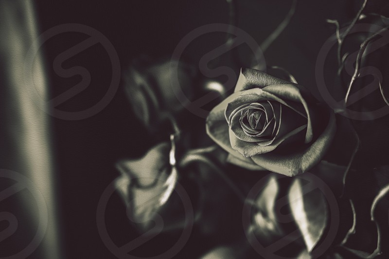 Roses in water photo