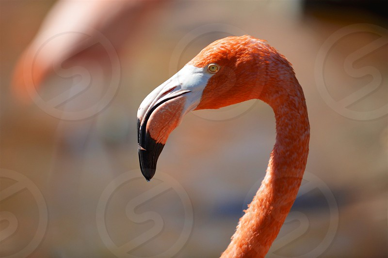 Flamingo Portrait photo