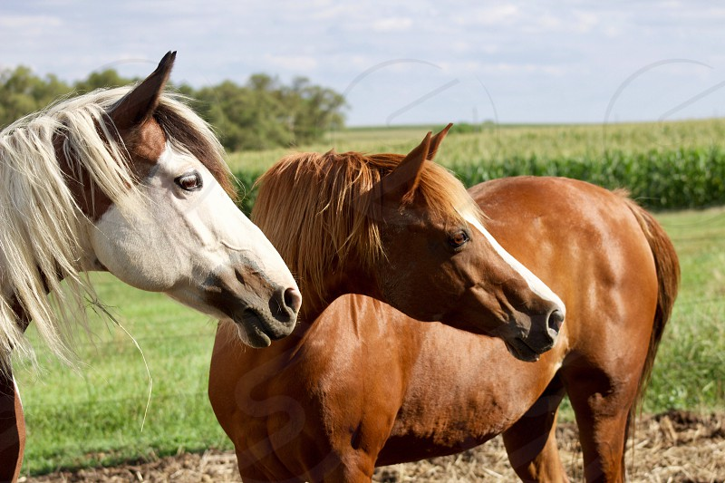 Side view of two beautiful horses against a lush country landscape on a sunny summer day  photo