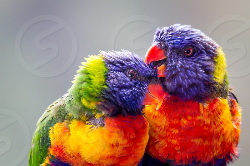 Two lorikeets obviously in love photo