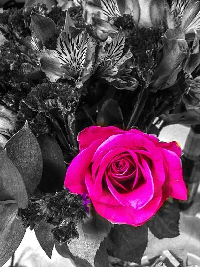 Rose flowers pennsylvania  photo