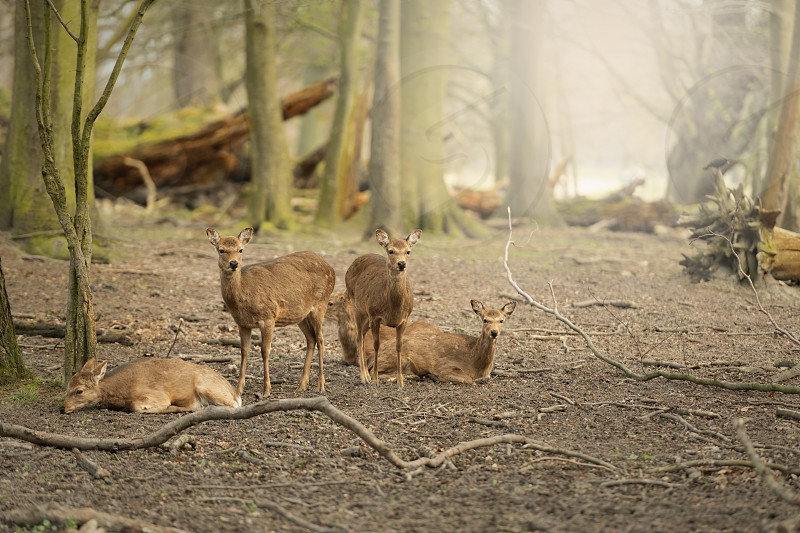 Five wild young deer in the spring sunny forest Klampenborg Denmark photo