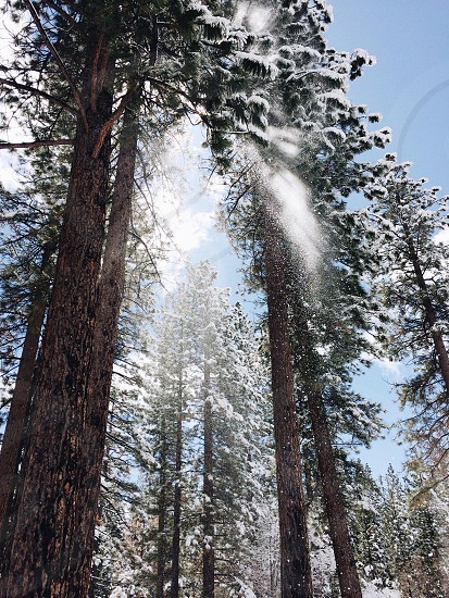 tall brown pine tree photo
