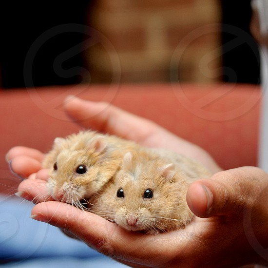 Holding two hamsters photo
