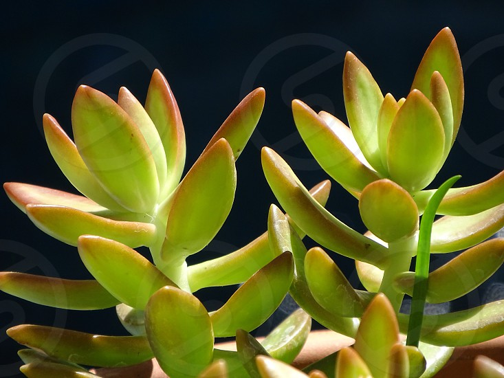 succulent plant bright green sunshine sunlight cactus green thumb sustainability herbal organic centerpiece garden botanical botany horticulture zen peaceful retreat black background mindfulness fresh growth patio lifestyle tranquility serenity greenhouse potted  photo