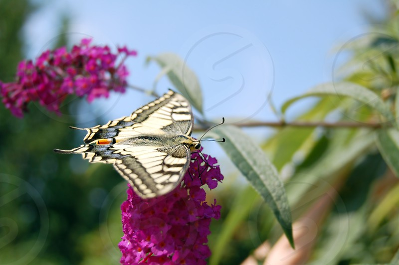 common yellow swallowtail butterfly (Papilio machaon) on pink Buddleja photo