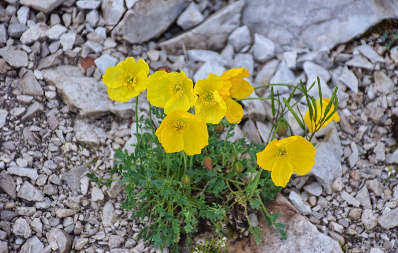 Closeup shot of mountain flowers growing among the rocks in Brenta Dolomites photo
