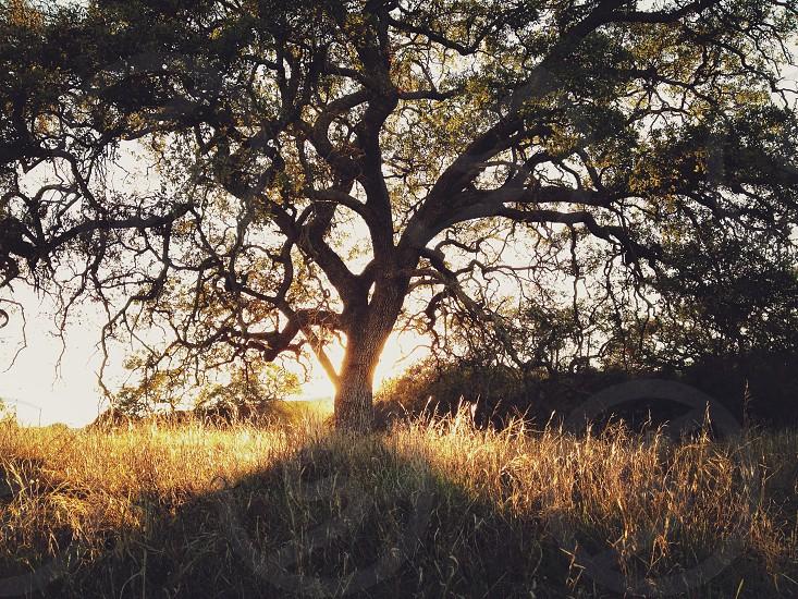 large oak tree in a field photo