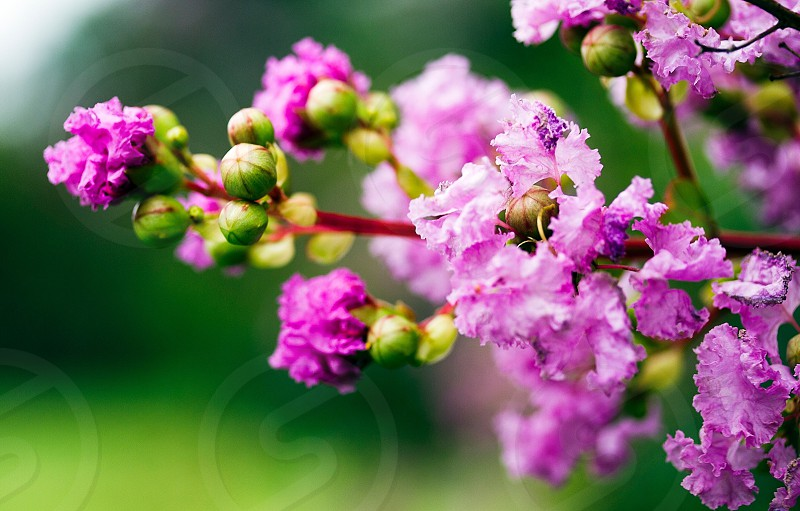 purple crepe myrtle flower photo