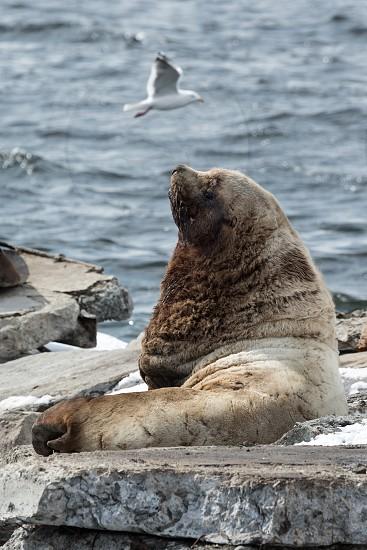 Nature of Kamchatka: rookery Northern Sea Lion or Steller Sea Lion (Eumetopias Jubatus). Russia Kamchatka Peninsula Avachinskaya Bay Petropavlovsk-Kamchatsky. photo