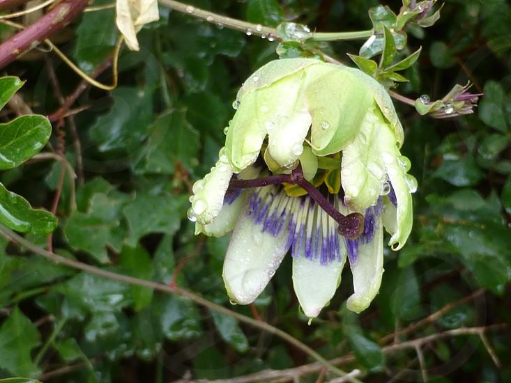 Flower in the rain photo