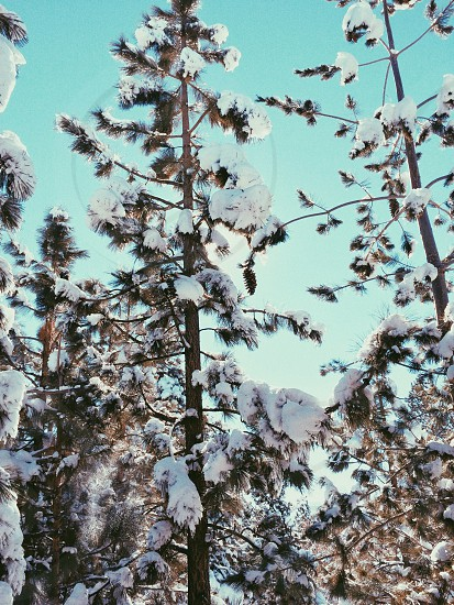 snow covered pine trees photo