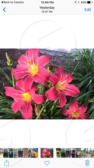 Red day lilies  photo